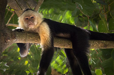 Monkey laying on branch.jpg
