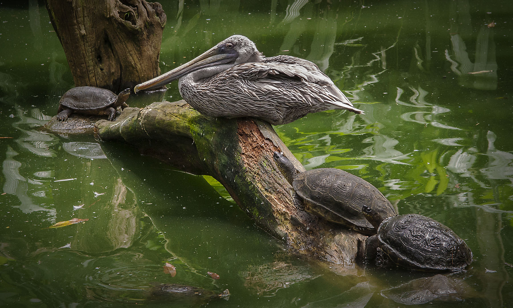 Pelican and Turtles Zooave.jpg
